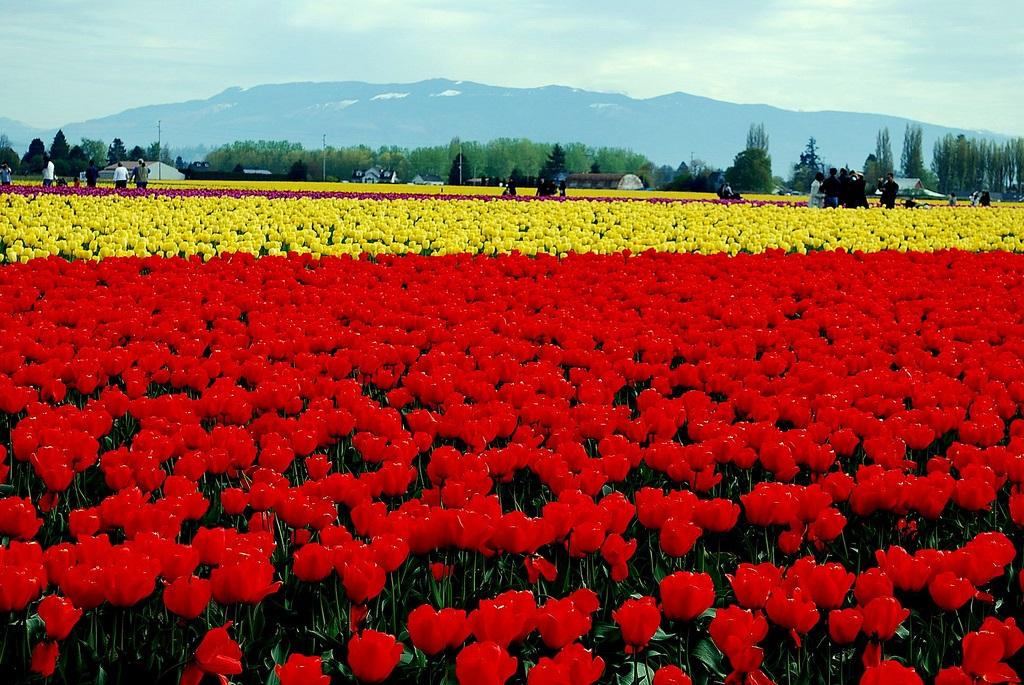Tulipanes del Valle de Skagit